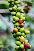 'Coffee growing in the highlands of Ethiopia; Ethiopia'