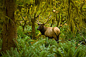 'Bull Roosevelt elk (Cervus canadensis roosevelti) framed by rainforest foliage; Washington, United States of America'