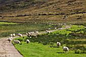 'Sheep near Strontian at Loch Sunart; Lochaber region, Western Highlands, Scotland'