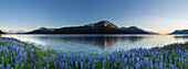 Scenic panorama view of Lupine along Turnagain Arm, Chugach State Park, Southcentral Alaska