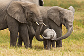 'African elephants walking with their young on the serengeti; Tanzania'