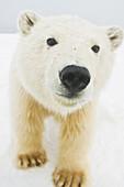 Polar bear (Ursus maritimus), curious young bear along Bernard Spit, a barrier island, during fall freeze up, 1002 area of the Arctic National Wildlife Refuge, North Slope, Alaska