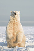 Polar bear (Ursus maritimus), sow sits up on her hindlegs to get a better look at what is in front of her, from newly forming pack ice during fall freeze up, Beaufort Sea, off the 1002 area of the Arctic National Wildlife Refuge, North Slope, Alaska