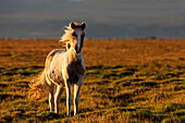 Icelandic horse with wind blowing it's mane at sunset: Iceland