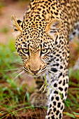 'Leopard walking towards camera with piercing eyes, gomo gomo game lodge; South Africa'