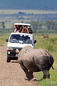 'Rare Black Rhinoceros or Hook-lipped Rhinoceros (Diceros bicornis) posing for a van of tourists just after bathing in watering hole at serengeti plains; Kenya'