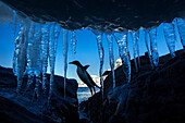 Antarctica, Petermann Island, Gentoo Penguin (Pygoscelis papua) leaping across rocks beneath wall of icicles along shoreline at sunset