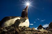 Antarctica, Livingstone Island, Flash illuminated portrait of Gentoo Penguin (Pygoscelis papua) in sunshine on nest in South Shetland Islands