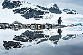 Antarctica, Cuverville Island, Gentoo Penguin (Pygoscelis papua) reflected in shallow water along glacial coastline