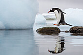 Antarctica, Cuverville Island, Gentoo Penguin (Pygoscelis papua) leaps between stones in shallow lagoon along Errera Channel