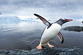 Antarctica, Cuverville Island, Gentoo Penguin (Pygoscelis papua) leaping from ocean onto rocky shoreline near rookery