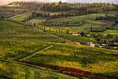 'Vineyard, near Ulignano; Tuscany, Italy'