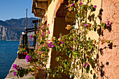 'A blossoming plant growing against a wall on a building along Lake Garda; Malcesine, Verona, Italy'