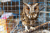Owl for sale at the bird market, Yogyakarta, Java Island, Indonesia