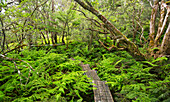 'Boardwalk through Waikamoi Native Forest Preserve, Maui, Hawaii, United States of America'