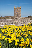 'Daffodils in bloom in grounds of St David's Cathedral; Pembrokeshire, Wales'