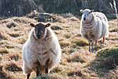 'Sheep near Traeth Llyfn beach on Pembrokeshire Coast Path, South West Wales; Pembrokeshire, Wales'