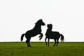 'Horses playing in a field near AberMawr bay on Pembrokeshire Coast Path, South West Wales; Pembrokeshire, Wales'