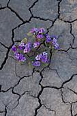 Phacelia (Phacelia sp.) grows in cracked clay near Factory Butte, Utah.