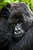 A silverback mountain gorilla cradles his head in the jungle of Rwanda's Virunga Mountains.