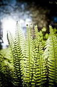 Deer Ferns (Blechnum spicant) backlit in the Temperate Rainforest, outside Vancouver, B.C.