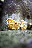 Tiny yellow gill mushrooms (Leucocoprinus birnbaumii) grow out of a tree trunk.