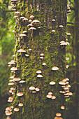 Mushrooms growing out of Douglas Fir Tree.