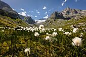 Cottongrass (Eriophorum scheuchzeri) in front of Galenstock in Central Switzerland