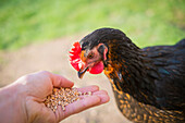 Young Black Copper Marans female hen on Free-Range poultry farm eating wheat grains from a man's hand, LA Creuse, Limousin, France