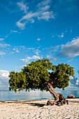 Famous Divi Divi trees on sandy beach in Aruba