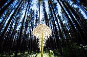 Beargrass (Xerophyllum tenax) blooms in Glacier National Park near West Glacier, Montana.