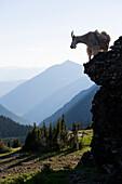 A mountain goat (Oreamnos americanus) walks along a cliff on Logan Pass in Glacier National Park near West Glacier, Montana.