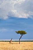A Western African Giraffe (Giraffa camelopardalis peralta) stands next to an acacia tree prior to a heavy rainstorm in Kenya's Masai Mara National Reserve.
