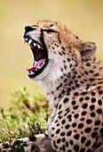 A wild Cheetah(Acinonyx jubatus) yawns in Kenya's Masai Mara National Reserve.