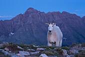 A Mountain Goat (Oreamnos americanus) on Buckskin Pass in front of Pyramid Peak, one of Colorado's popular fourteeners.