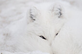 Captive: Close Up Of An Arctic Fox In White Phase Resting With Its Nose Tucked Up Under Its Tail, Yukon Wildlife Preserve, Yukon Territory, Canada