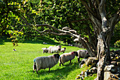 'Sheep grazing near Carnlough on the Antrim Coast; County Antrim, Ireland'