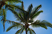 'Coconut Palms backlit by the sunlight in a blue sky; Poipu, Kauai, Hawaii, United States of America'