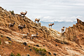 'A herd of desert Bighorn sheep (Ovis canadensis) ewes and rams standing on a rocky hillside in the Colorado National Monument in autumn; Grand Junction, Colorado, United States of America'