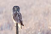 'Great grey owl (Strix nebulosa) sitting on a broken tree trunk; Thunder Bay, Ontario, Canada'