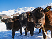 'Group portrait of three young, brown and black Heren calves in snowy field; Zinal village, Switzerland'