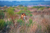 'Cheetah sitting in the tall grass; South Africa'