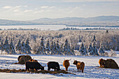 'Highland cattle in a meadow in winter; West Bolton, Quebec, Canada'