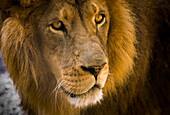 'A male lion (Panthera leo) hangs out at the petting zoo; Bandon, Oregon, United States of America'