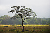 'Animals graze on the plains in Arusha National Park in winter; Arusha, Tanzania'