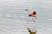 'Lesser Flamingos (Phoenicopterus minor) work on their flights in Arusha National Park in winter; Tanzania'