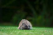 'Hedgehog in a garden; Dorset, England'