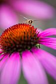 'Hoverfly above Echinacea flower; Cambridgeshire, England'