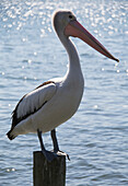 'A pelican perched on a piling on the water; Queensland, Australia'
