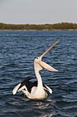 'A pelican on the water with beak open wide; Queensland, Australia'